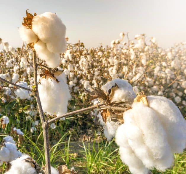 cotton ai cap